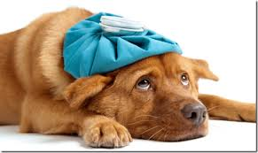 dog with icepack